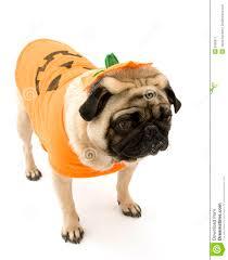 yorkie halloween costumes pug standing in halloween costume stock image image 6358671