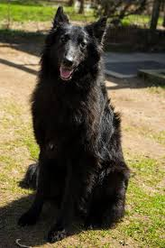 belgian shepherd rescue dogs belgian sheepdog rescue trust home facebook