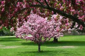 a list of ornamental trees for landscaping with beautiful pictures