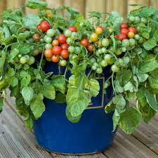 Best Vegetables For Small Garden by Bajaja Small Red Cherry Tomatoes Dwarf Bush Early Season
