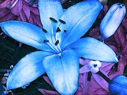 asian lilies blue asiatic photograph by rowe