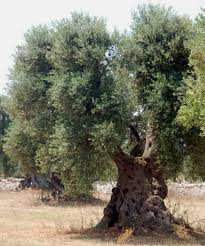 olive trees at my greek table