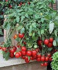 213 best vegetable gardening images on pinterest vegetables
