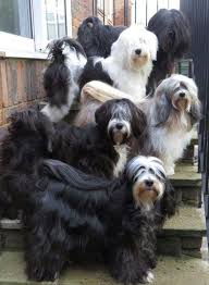 hair cuts for the tebelan terrier 42 best tibetan terriers images on pinterest tibetan terrier