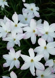 Rain Lily Zephyanthes Rain Lily Rain Lilies Plant Delights Nursery