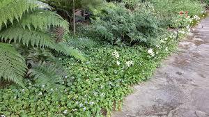 native australian ground cover plants viola hederacea alpine nurseries
