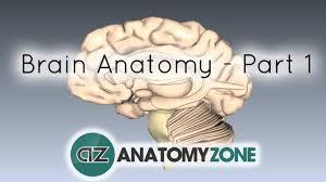 Image Of Brain Anatomy Basic Parts Of The Brain Part 1 3d Anatomy Tutorial Youtube