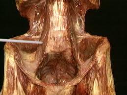 Human Anatomy Pic A Z Index Acland U0027s Video Atlas Of Human Anatomy