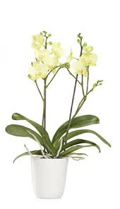 yellow orchid yellow stem orchid 7 gift baskets