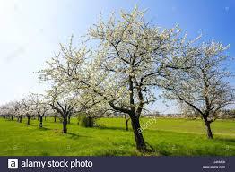 Trees Worldwide Blossom Of Apple And Cherry Trees In Hohenleipisch Elbe Elster