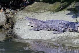 crocodile sightings reported at pasir ris park environment news