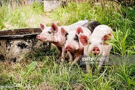 pigs stock photos pictures getty images