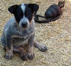 australian shepherd 5 months weight australian shepherd puppy weight chart edgrafik