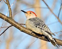 South Carolina birds images Priority birds audubon south carolina jpg