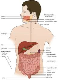 Anatomy Of Stomach And Intestines Anatomy And Normal Microbiota Of The Digestive System Microbiology