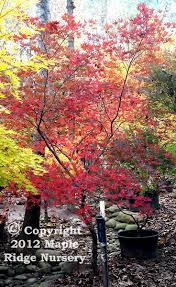sweet viburnum 200mm pot viburnum 10 best japanese maples images on pinterest acer palmatum
