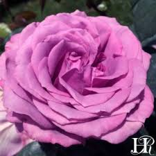 purple roses for sale sales specials from heirloom roses heirloom roses