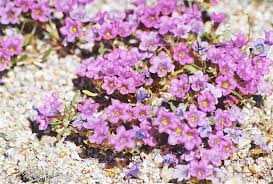 native plant list camissonia u0027s ca native plant life list nama demissum purple mat