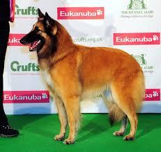 belgian sheepdog breeders uk domburg icandy belgian shepherd dog tervueren belgian