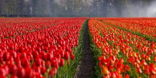 Tulip Field Free Stock Photos Of Tulips Pexels