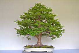 White Oak Bark Powder Oak Bonsai Trees