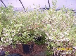 mirtillo in vaso piante di mirtillo americano gigante cuneo giardino fai da te