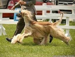 afghan hound agility fabulousfive
