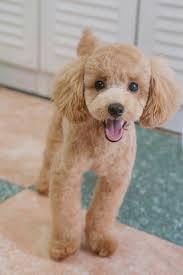 Different Toy Poodle Cuts | poodle cuts poodle cuts pinterest poodle cuts poodle and