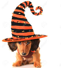 longhair dachshund puppy wearing a halloween witch hat stock