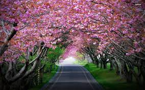 cherry blossom tree wallpaper wallpaper