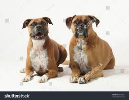 boxer dog female male female purebred boxer dogs on stock photo 49053280 shutterstock