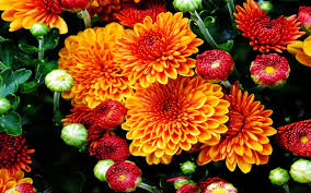 pumpkin screensavers yellow mums screensaver images reverse search