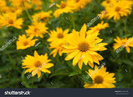 yellow ornamental plants cottage garden heliopsis stock photo