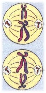 meiosis quiz