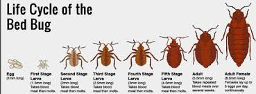 Bed Bug Nest Pictures Geektick How To Prevent Bed Bugs