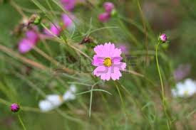 white cosmos on field in sunset time stock photo picture and