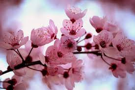 cherry blossom flowers celebrating a living ceremony personal planning rising heart