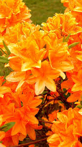Yellow Orange Flowers - azalea flowering orange bright floral fabulosity pinterest