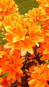 azalea flowering orange bright floral fabulosity pinterest