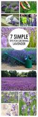 Most Fragrant Lavender Plant - how to grow fragrant lavender plants in a yard in florida