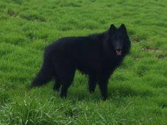 belgian shepherd national specialty my dog annie u0027s paternal grandsire sire u0027s side ch osage de la