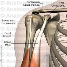 Bicep Innervation Processus Coracoideus Google Search Anatomi Pinterest