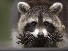 Meme Generator Raccoon - jazz hands raccoon blank template imgflip