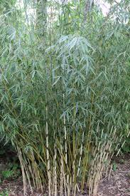 best 25 bambou fargesia robusta ideas on pinterest fargesia