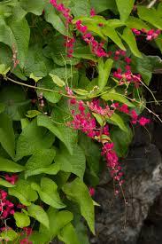 coral vine monrovia coral vine