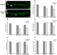 synaptic abnormalities in a drosophila model of alzheimer u0027s