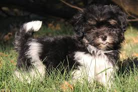 affenpinscher havanese mix havanese puppies for sale from reputable dog breeders
