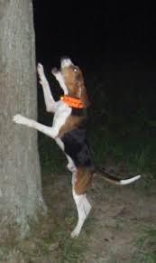 bluetick coonhound drool 41 best walker hounds images on pinterest walker hound treeing