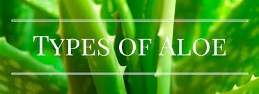 Types Of Plant Disease - aloe vera plant care tips growing planting pruning diseases