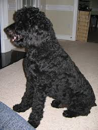 belgian sheepdog poodle mix rottle rottweiler standard poodle mix good dogs pinterest